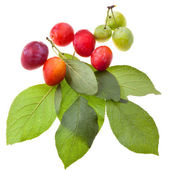 Green plum tree leaves and plums — Stockfoto