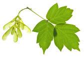 Semi di albero di cenere e foglie verdi — Foto Stock