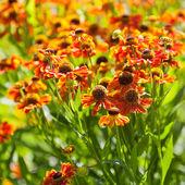 Flor de florescência gaillardia — Foto Stock