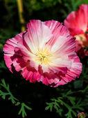 Flower head of Eschscholzia — Stock Photo