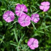 Flor de dianthus campestris — Foto Stock