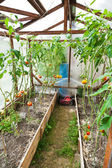 Greenhouse with tomatoes — Stock Photo