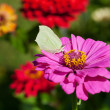 Butterfly on pink flower close up — Stock Photo #30455863