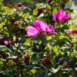 Thickets of wild rose with pink flower — Stock Photo