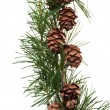 Pine cones on branch of conifer tree — Stock Photo #30456007