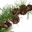 Pine cones on branch of conifer tree — Stockfoto