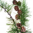 Pine cones on branch of conifer tree — 图库照片