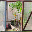 Greenhouse with tomatoes — Photo