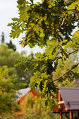 Oak leaves in courtyard of village house — Stock Photo