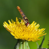 Cerrar hoverfly en flor amarilla — Foto de Stock