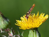 муха-журчалка на желтый цветок крупным планом — Стоковое фото