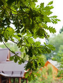 Green oak leaves and wooden house — Stock Photo