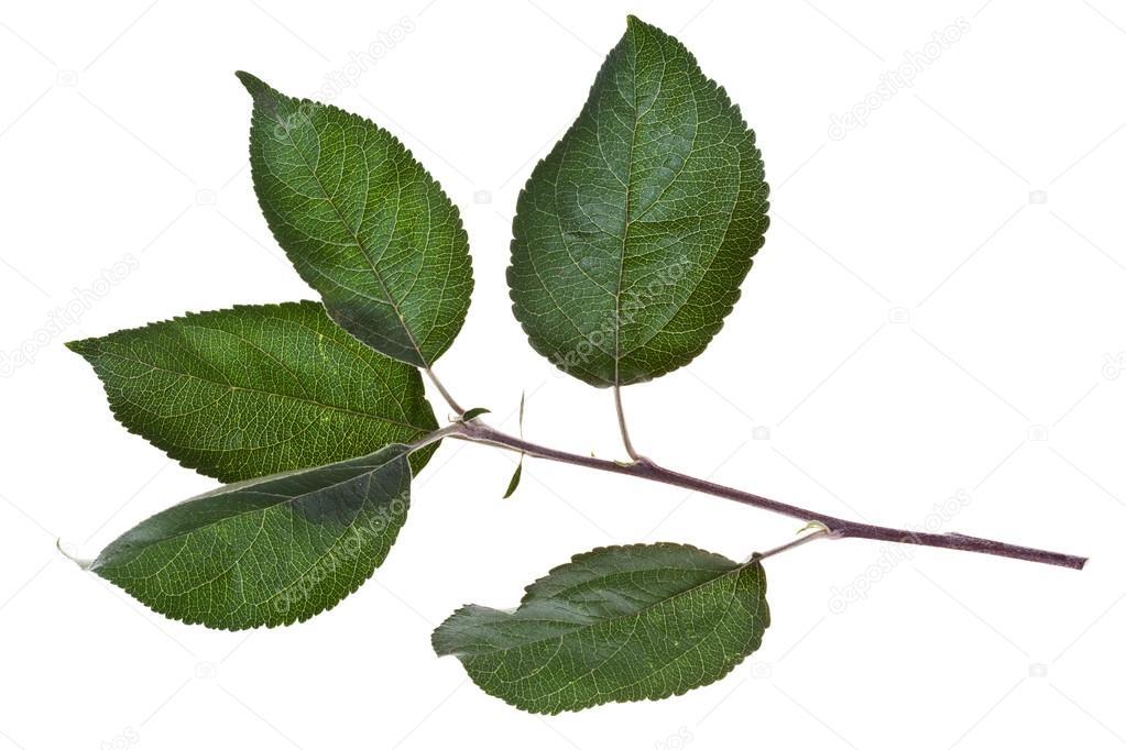 branche darbre avec des feuilles verts pomme photographie vvoennyy 30455779. Black Bedroom Furniture Sets. Home Design Ideas