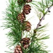 Pine cones on branch of conifer tree — Stock Photo #30533473