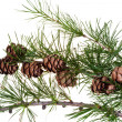Pine cones on branch of conifer tree — Stock Photo #30533479