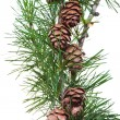 Pine cones on branch of conifer tree — Stock Photo