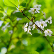 Spring blossoms on twig — Foto de Stock