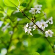 Spring blossoms on twig — Stockfoto