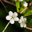 White flowers of blossoming tree — Stock Photo