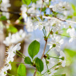 Young twig with white spring blossoms — Stock Photo #30969769