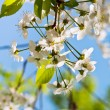 White spring blossoms on twig — Stock Photo