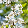 Stock Photo: Twig with white spring blossoms