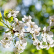 Tree brunch with white spring blossoms — Stock Photo