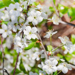 Tree branch with white cherry blossoms — Stock Photo #30969829