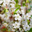 Tree twig with white blossoms — Stock Photo