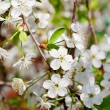 Tree twig with white blossoms — Stock Photo #30969831