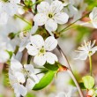 White cherry blossoms on twig — Stock Photo #30969837