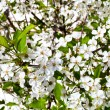 White flowers of cherry tree — Stock Photo
