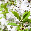 Young green leaves of cherry tree — Stock Photo