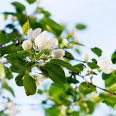 White blossoms on twig — Stock Photo