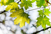 Green maple leaf outdoors — Stock Photo