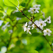 Spring blossoms on twig — Stock Photo