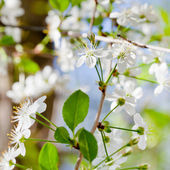 Young twig with white spring blossoms — Stock Photo