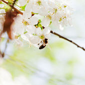 Bee on spring white blossoms — Stock Photo