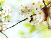 Bee and spring white blossoms — Stock Photo
