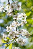 Twig with white spring blossoms — Stock Photo