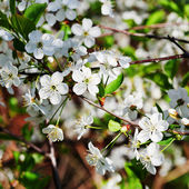 Tree branch with white blossoms — Stock Photo