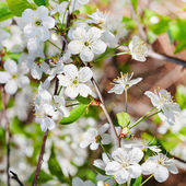 Tree branch with white cherry blossoms — Stock Photo