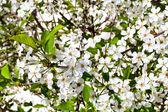 White flowers of cherry tree — Stock Photo