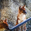 Pets of dhole — Stock Photo