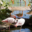 Flamingo birds outdoors — Stock Photo
