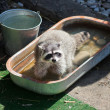 Common raccoon in trough of water — Stockfoto