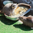 Stock Photo: Raccoon and coypu