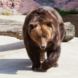 Brown bear — Stock Photo #30970245