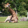 Giraffe and ostrich lying on green grass — Stok fotoğraf