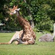 Giraffe and ostrich lying on green grass — 图库照片